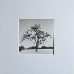 Appletree in winter (cardijo) Tags: print monochrome landscape landschaft tree baum blackandwhite bw ilford multigrade rolleiflex darkroom