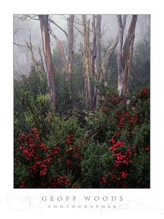 Cyathode Berries & Snow Gums, Mt. Wellington Tasmania.