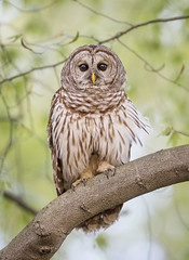 Wise Old Owl....{Explored} (DTT67) Tags: barredowl barred owl owls perched birds raptors forest maryland canon 1dxmkii 500mmii wildlife nature nationalgeographic 14xtciii