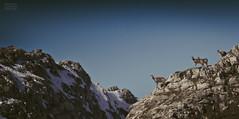 Rebecos/ Chamoises (Jose Antonio. 62) Tags: mountains montañas snow nieve animals animales rebeco chamois nature naturaleza