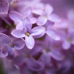 Lingering Lilacs (Lala Lands) Tags: lilacflowers lilactrees springlilacs lilacfragrance floweringtrees springlight springtrees flowermacro bokeh shallowdepthoffield dof nikkor105mmf28 nikond7200
