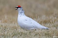 Lagópode Branco (M) - Rock ptarmigan (M) - Lagopus muta (Yako36) Tags: iceland bird ave birdwatching nature natureza wildlife tc14e nikonafs300f4 nikond7000