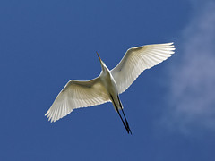 """Great Egret Flies Over (dcstep) Tags: n7a3467dxo birdinflight flight flying wing wings pixelpeeper """"canon 5d mkiv"""" """"ef 100400mm f4556l is ii"""" """"all rights reserved"""" """"copyright 2017 – david c stephens"""" """"st augustine"""" fl florida """"alligator farm"""" augustine alligator """"dxo optics pro 114"""" nature sanctuary egret greategret handheld ecoregistrationcase15586202651"""