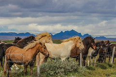 Icelandic Ponies at Fence (fentonphotography) Tags: iceland horse pony mountains clouds sky fence windblown animals