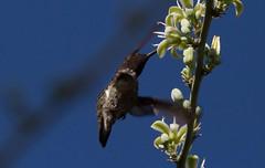 Never Mind The Bees (harefoot1066) Tags: trochilidae calypte calypteanna annashummingbird asparagaceae agavoideae hesperaloe hesperaloefunifera gianthesperaloe