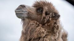 WMSP Bactrian Camel (1) (Daz James Photography) Tags: westmidlandsafaripark safari bactriancamel