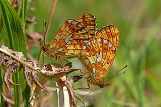 Boloria euphrosyne - the Pearl-bordered Fritillary