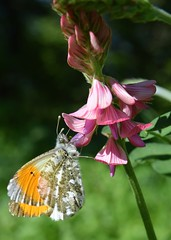 Aurorafalter - explored 16.05.2017 - (chrissie.007) Tags: schmetterling aurorafalter tagfalter falter wildblume makro insekt macro butterfly chrissie tier blume frühling blüte