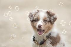Bubbles <3 (Claudia Brockmann) Tags: natur nature strand sand hund hunde hundewelpe hundewelpen dog dogs australianshepard outdoor bubbles bubble seifenblasen seifenblase