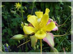 Always pretty Aquilegia ... ♡ ... ... ... ( FAVES STOP !! ) (ljucsu) Tags: flower flowermacro macro plant outdoor spring springflowers may mayflowers aquilegia grannysbonnet columbine haranglábvagysasfű водосбо́рилио́рликилиаквиле́гия ngc npc