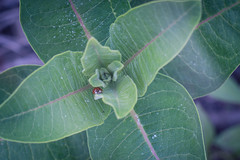 ladybug photobomb (severalsnakes) Tags: kansas pentax saraspaedy shawnee shawneemissionpark accuradiamatic13528 extensiontube k1 ladybug m42 macro manual manualfocus milkweed screwmount