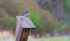 Bluebird House (imageClear) Tags: bluebird perched house nature color small imageclear flickr photostream aperture nikon d500 80400mm pretty