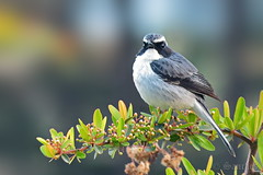 The Grey Bushchat (savio.sanches) Tags: grey bushchat india birding nature outdoors wildlife flora fauna saxicola ferreus himalayas himachal uttrakhand passerine bird family muscicapidae male its natural habitats subtropical or tropical moist lowland forests montane animalia chordata aves