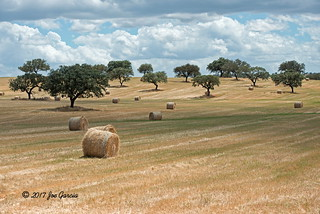 Hay And Olive Trees