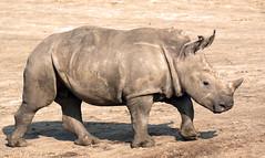 white rhino Beekse Bergen JN6A4406 (joankok) Tags: beeksebergen animal mammal zoogdier dier afrika africa herbivore rhino neushoorn witteneushoorn white rhinoceros