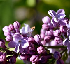 Lilacs in Bloom (NettaT) Tags: lilacs flowers purple bloom nature flower scent