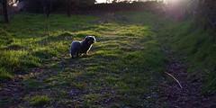 Lonesome teckel