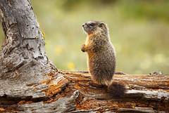 Baby marmot (scepdoll) Tags: grandtetonnationalpark wyoming marmot findyourpark wildlife animal pilgrimcreekroad marmots