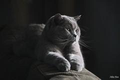 Whiskers (mirri_inc) Tags: cat cats animal animals pet face whiskers breed brit britishshorthair boy nikon sigma