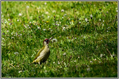 Grünspecht (_Asphaltmann_) Tags: pentax pentaxlife pentaxians photosunlimted pentaxart photos pentaxk3 sigma sigma50500 sigmalens grünspecht greenwoodpecker woodpecker yaffle picvert pic grün green vert