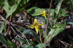 Dogtooth Violet (Linda Ramsey) Tags: nature april spring wildflower troutlily dogtoothviolet