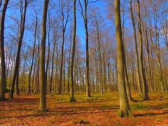 Buchenwald am NSG Nieglitzer Moor (Sophia-Fatima) Tags: naturschutzgebietnieglitzermoor gallin mecklenburgvorpommern deutschland nsg buchenwald wald forestgallinertannen