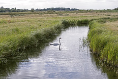 The Lonely Swan (Tony_Brasier) Tags: nikon 0are kent theswale england green grass brids swan water walk harty ferry fish d7200 faversham 50mm