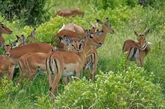 impala (Cybergabi) Tags: tanzania africa 2016 safari mikuminationalpark impala wildlife photostream