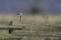 Happy Fence Friday (HFF)- Northern Shrike Style (Chantal Jacques Photography) Tags: happyfencefriday hff northernshrike bokeh depthoffield saanichtonspit wildlife resilience birdscape habitat