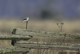 Happy Fence Friday (HFF)- Northern Shrike Style