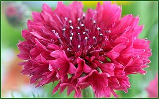 Coral Pink Cornflower