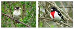 Rose-breasted Grosbeak (Jennz World) Tags: jennifermlivick rondeauprovincialpark birds springmigration2017