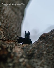 Batman Watching (craigwagenseller) Tags: instagramapp square squareformat iphoneography uploaded:by=instagram legobatman batman lego macro closeup tree watching