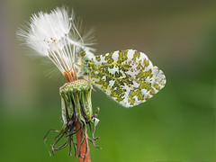 Another Orange-Tip Butterfly (bredmañ) Tags: butterfly insect wildlife wild nature uk british anthochariscardamines dandelion seedhead seeds handheld naturallight macro closeup olympus em1 60mmmacro