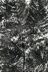 Dark Flora 6 (pni) Tags: monochrome plant multiexposure multipleexposure tripleexposure leaf luomus kaisaniemenkasvitieteellinenpuutarha kajsaniemibotaniskaträdgård kaisaniemibotanicgarden kaisaniemi kajsaniemi helsinki helsingfors finland suomi pekkanikrus skrubu pni