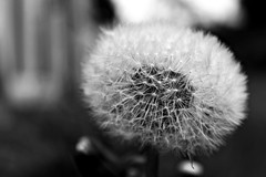 (victoriapss) Tags: nature photography flower canon 1200d black white focus make wish backyard dandelion beautiful uk england coventry soft victoria stoyanova