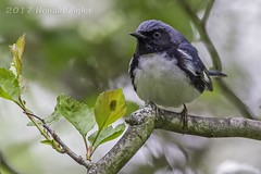 Black-throated Blue Warbler  IMG_9121 (ronzigler) Tags: blackthroated blue warbler songbird avian nature bird birdwatcher canon 60d sigma 150600mm