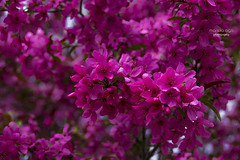 in full bloom ... (mariola aga) Tags: spring bush tree flowers blossoms bokeh depthoffield pink closeup thegalaxy