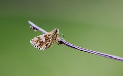 GRIZZLED SKIPPER - (Explored) (Bradders62) Tags: dingyskipper canoneos7d cerneabbas cernegiant dorset southwest britishbutterflies butterflies butterfly nature wildlife inexplore explored explore
