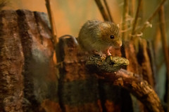 On the move | Harvest mouse | Horniman Museum | May 2017 (Paul Dykes) Tags: hornimanmuseum museum sydenham london england uk museums harvestmouse micromysminutus mouse animals