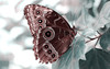 Eye-catcher... (RALPHKE) Tags: bluemorpho commonmorpho emperor morphopeleides butterfly butterflies blauwemorphovlinder vlinder vlinders nature natuur closeup macro canon canoneos750d insect insects travel eyecatcher macromondays eye