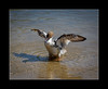 Female Goosander (tkimages2011) Tags: female goo sander bird water carrmill dam sankey valley sthelens merseyside wing feather mergus merganser duck