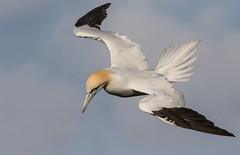 Northern Gannet,  Morus bassanus (michael.smith86) Tags: bempton rspb yorkshire east canon 7d mk2 northern gannet morus bassanus sigma contemparory 150600 blue sky flying white plumage north sea
