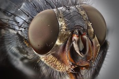 Fliege (oldworldtarantulas) Tags: fly fliege stack macro makro focus eye eyes