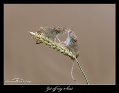 Get off my wheat ! (deanmasonwp) Tags: harvestmice harvest mice mouse rodent mammal animal tiny cute wheat sheaf barley dean mason windows wildlife dorset get off nature photography image photo nikon d3s sigma 105mm macro squabble