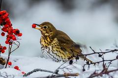 zorzal con baya (barragan1941) Tags: aves cremenes fauna pajaros zorzal