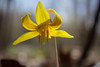 Erythronium americanum (marylea) Tags: flower park troutlily erythroniumamericanum wildflower wildflowers yellow michigan washtenawcounty hudsonmillsmetropark hudsonmills apr22 2017