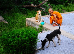 ,, Pumpkin, Monk, Legs ,, (Jon in Thailand) Tags: pumpkin rascal legs dog dogs monk kindmonk orange green 2dogs jungle streetphotography streetphotographyjunglestyle dogbowl nikon d300 nikkor 175528 teal smile thaismile smoke crocodile littledoglaughedstories
