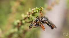 Colgado de una pata (Teo Martínez (temege)) Tags: insectos insects invertebrados naturaleza nature asílido abeja bee macro closeup 105mm nikon alicante charca pond
