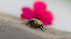 Where did I leave that flower? (shaulfiron) Tags: flowerchafer